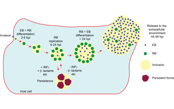 Cell and molecular microbiology of Chlamydia