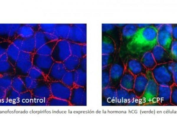 Circuitos Moleculares Compartidos entre las Células Placentales y las Células Tumorales